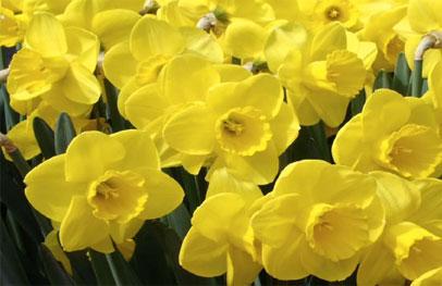 CALLOUT_Daffodils