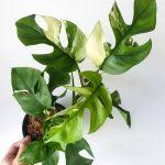 O mercado de plantas domésticas raras - Economia sólida 4
