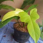 O mercado de plantas domésticas raras - Economia sólida 5