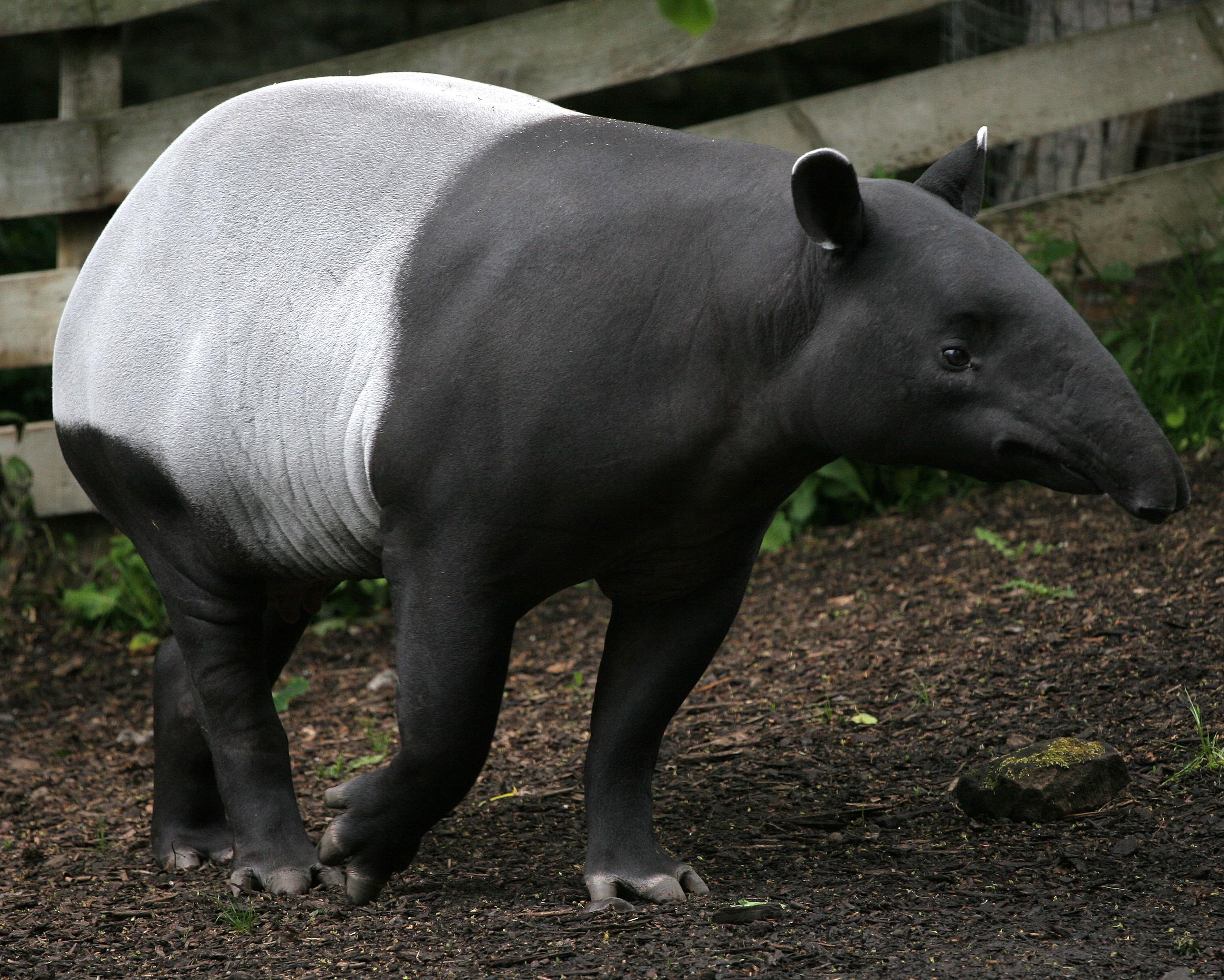 Photo of a Tapir