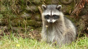 Eeeviiiilll! Actually, no. Incredibly adorable young racoon at Point Defiance, begging for snacks from passing cars (naughty naughty! Don't feed the wildlife!)