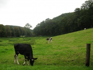 Cows in Altenberg