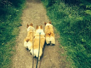 corgibutts
